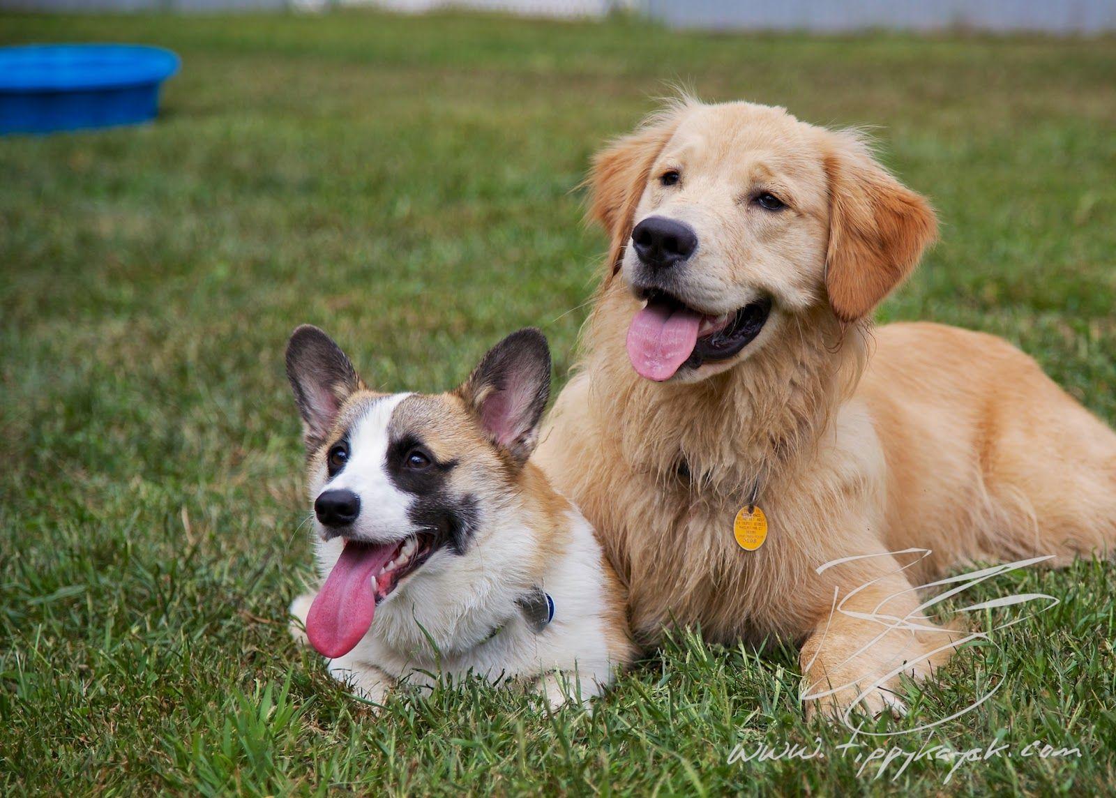 Puppy Palooza Baby Animals Pictures Corgi Puppies