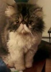 Izzopudge Persian Cat Cats Kitty