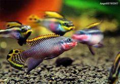 More Pelvicachromis Taeniatus Nigerian Reds Livestock Freshwater Fish Cichlids Saltwater Aquarium Fish