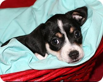 Rat Terrier Beagle Mix Puppy For Adoption In Rochester New York
