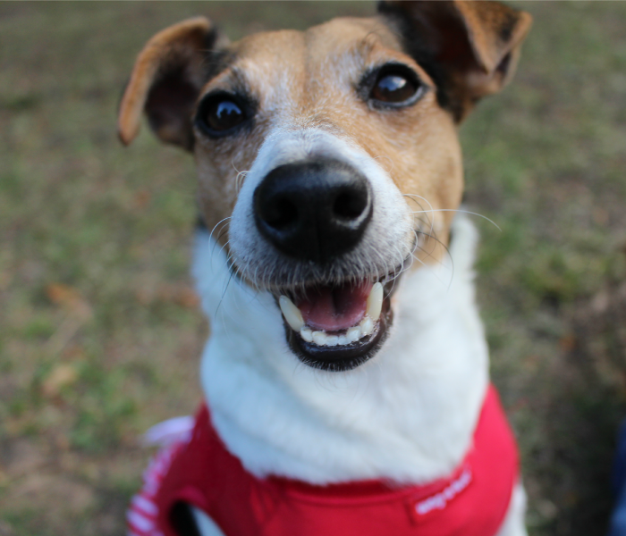 Sam is a multi-talented Jack Russell Terrier. She loves performing tricks such as: painting, handstands, balancing a top of a yoga ball, riding the suitcase, pushing her shopping cart, playing basketball, jump roping, and blowing bubbles underwater. From over 350 tricks and cues, Sam can do it all. She enjoys making people smile with her cute little charm and funny antics. PLEASE VOTE for my sister she is falling behind!!
