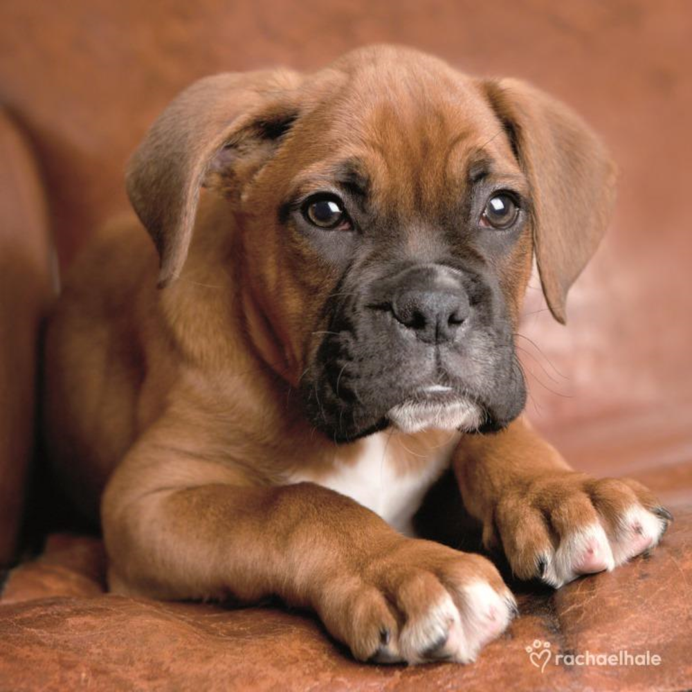 Puppy Cute Greeting Card In 2020 Boxer Puppies Boxer Dogs Cute