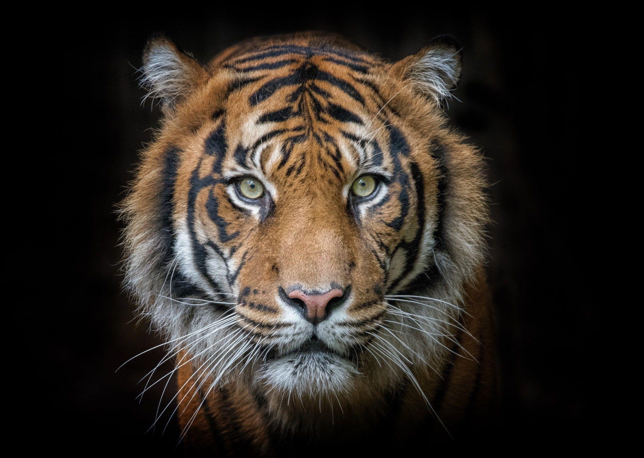 Tiger Portrait Tiger Animal Tiger Portrait Eyes Muzzle Predator Amazing Animals S Best S Hd 1080p Wallpaper H In 2020 Tiger Photography Pet Tiger Tiger Face