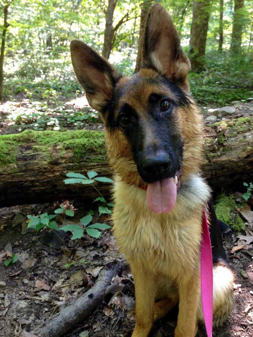 Revy Vom Hertzland Of Fairmont Wv Dog Mom German Shepherd Dogs