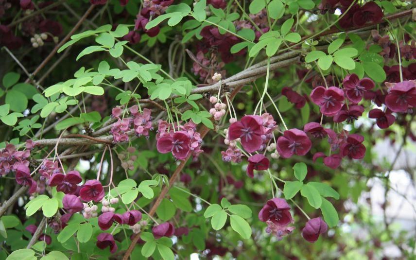 Akebie: Eine Kletterkünstlerin für Ihren Garten
