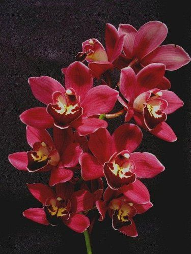 Cymbidium Black Silk orchid seedling, a dark, dark red - http://yourflowers.us/cymbidium-black-silk-orchid-seedling-a-dark-dark-red-2/