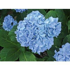 Monrovia 8 In Blue Or Pink Mini Penny Hydrangea Flowering Shrub L20904 Nursery Blue Hydrangea Hydrangea Flowering Shrubs