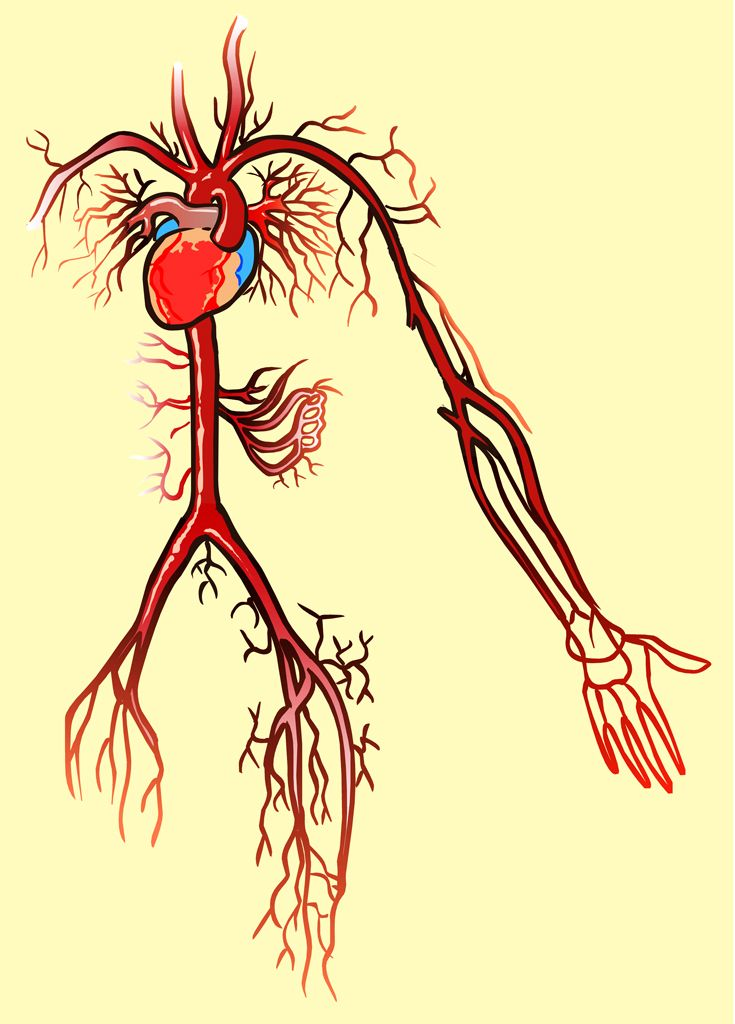 William Harvey is famous for his studies of the circulatory system ...