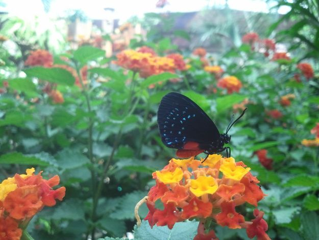 The tiny Atala is the smallest butterfly in the 2013 Festival of Butterflies at #PowellGardens