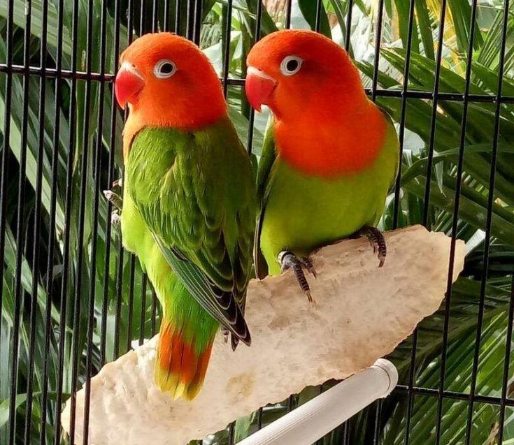 Asal Usul Lovebird Biola Dan Ciri Cirinya Burung Cantik Burung Biola