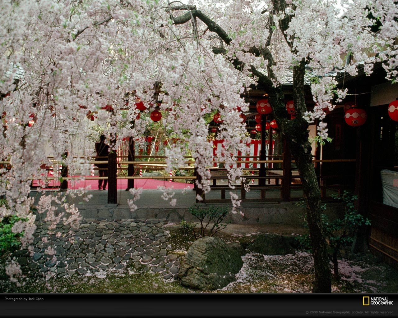 Pin By Lucy Doris On Wisteria Cherry Blossoms Bougainvilleas Cherry Blossom Wallpaper Japanese Blossom Beautiful Japanese Gardens