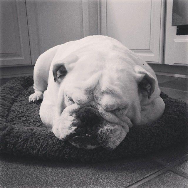 Mondays Are Exhausting Bulldog Padgram Bulldog Cute Puppies