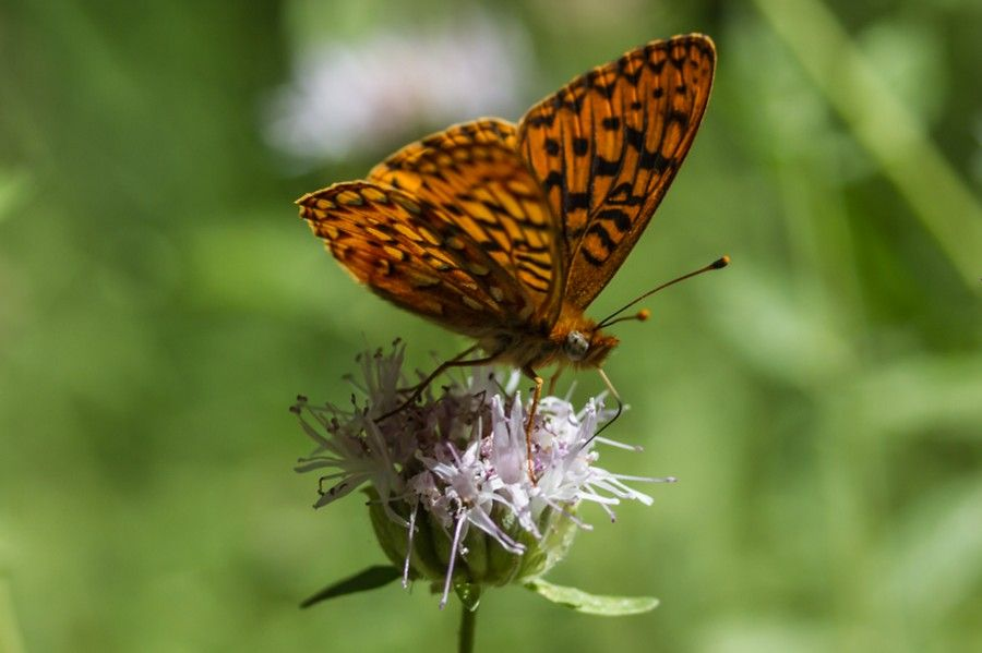 Photo Spangled Fritillary by Mark Zimmerman on 500px