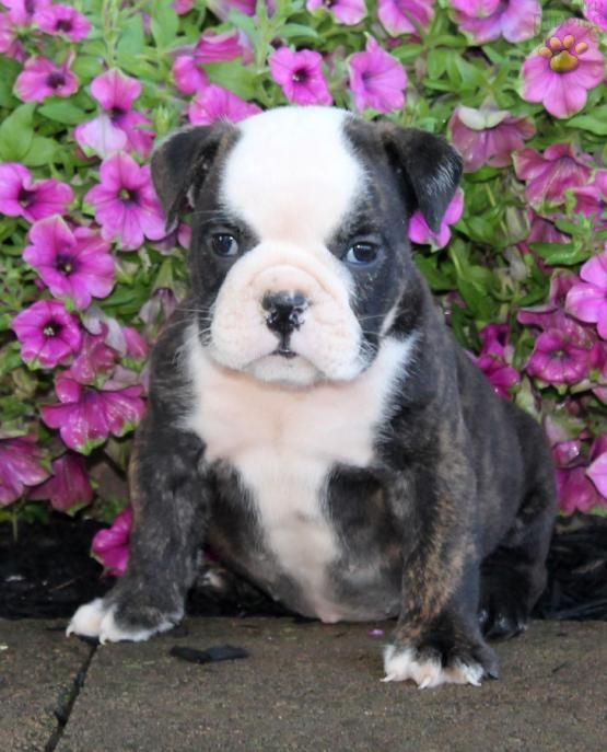 #Wrinkles #CuteNCuddly #MansBestFriend #PuppyLove #BulldogLove #EnglishBulldog #BuckeyePuppies www.BuckeyePuppies.com