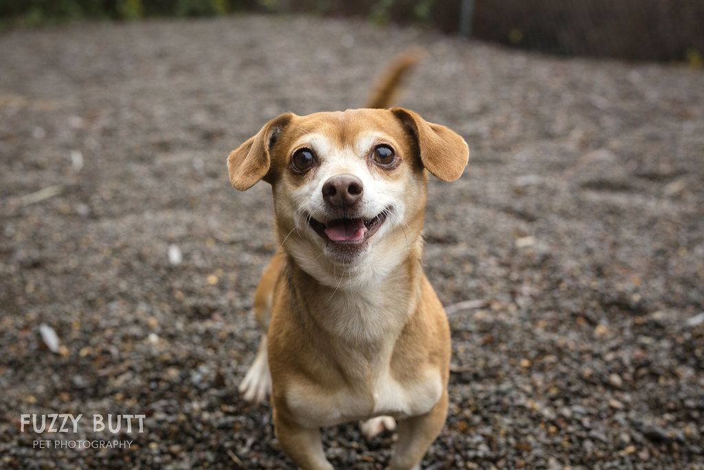 Adopt zion on rescue dogs dogs chihuahua mix