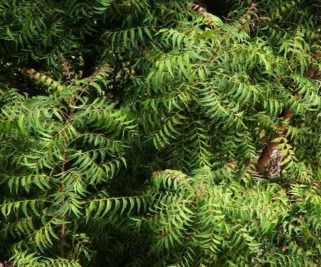 Neem Tree Neem Oil For Hair Neem Oil Mosquito Repelling Plants