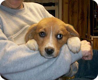Australian Shepherd Boxer Mix Puppies Boxer Australian Shepherd Mix Puppy For Sale In Liberty Australian
