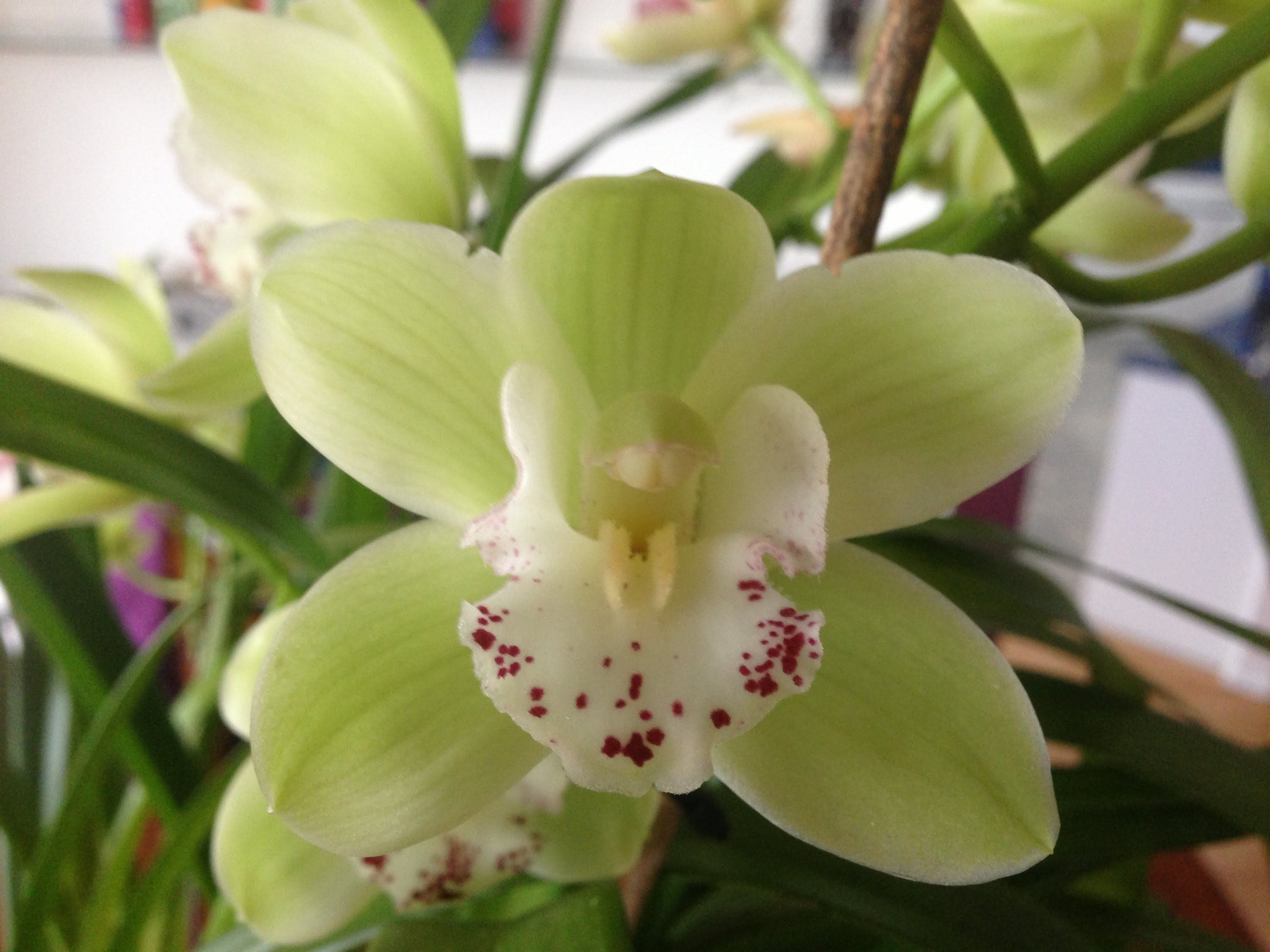 Easy Cymbidium Orchid Care Culture And Re Bloom Tips Cymbidium Orchids Care Orchid Care Cymbidium Orchids