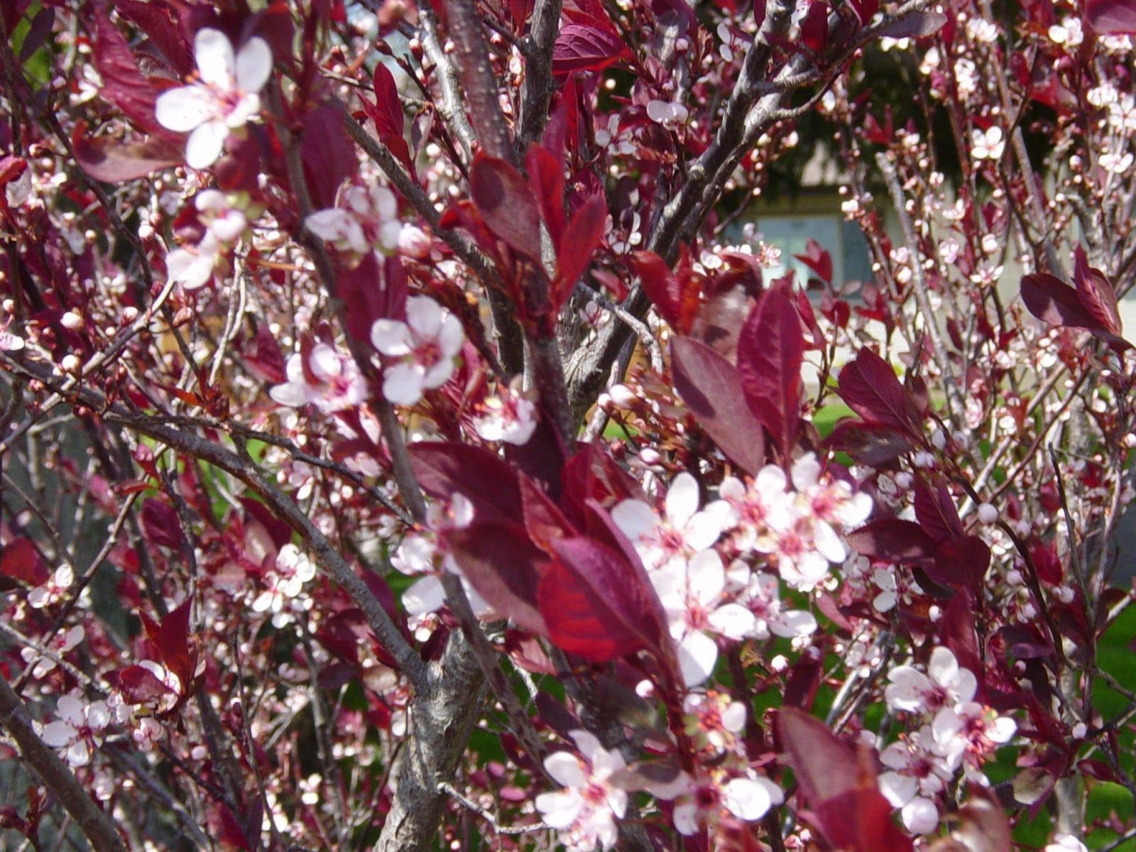 Image Result For Burgundy Bush With White Pink Flowers Pink