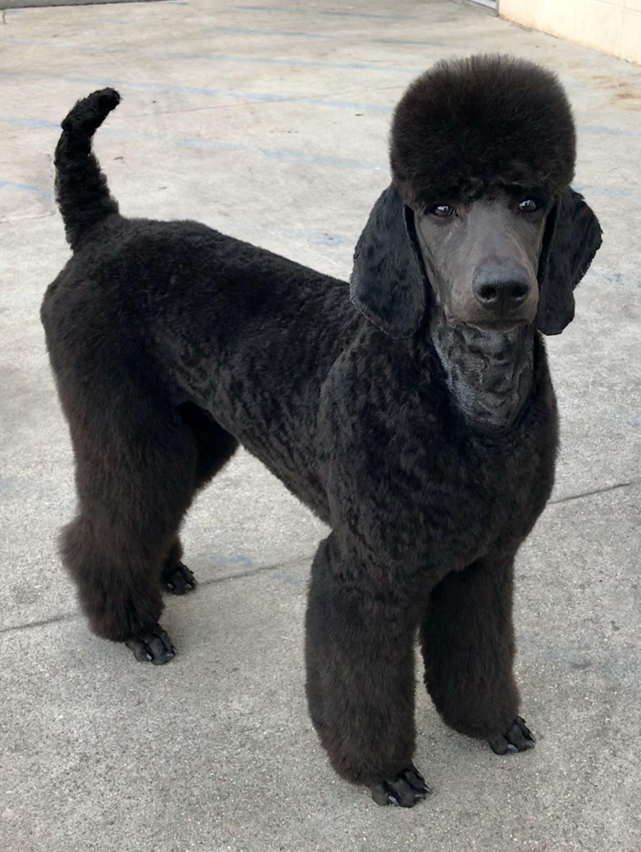 German Clip Dog Breeds Pets Dogs Breeds Poodle Dog