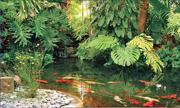 The nursery and pond company landscapes ponds tropical for Koi pool water gardens thornton