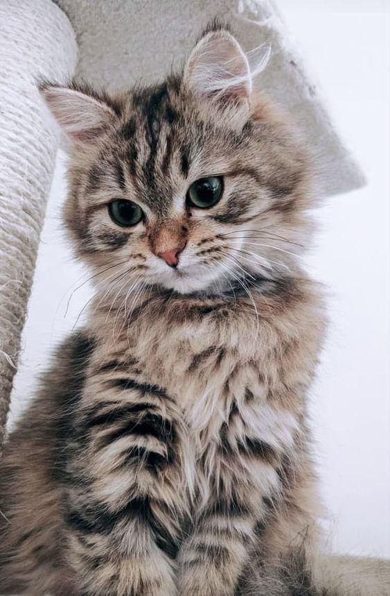 Pin By Gohar Bilezekchian On Kittens Kittens Cutest Beautiful Cats Cute Animals