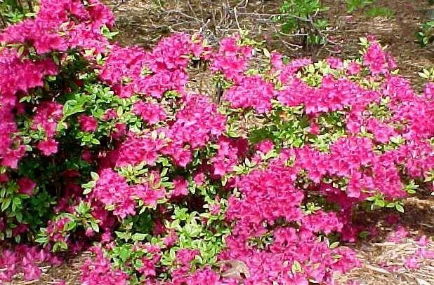 fushia azalea rhododendron girards fuchsia kchenfenstergartenpflanzenhinterhoflandschaften - Hinterhoflandschaften
