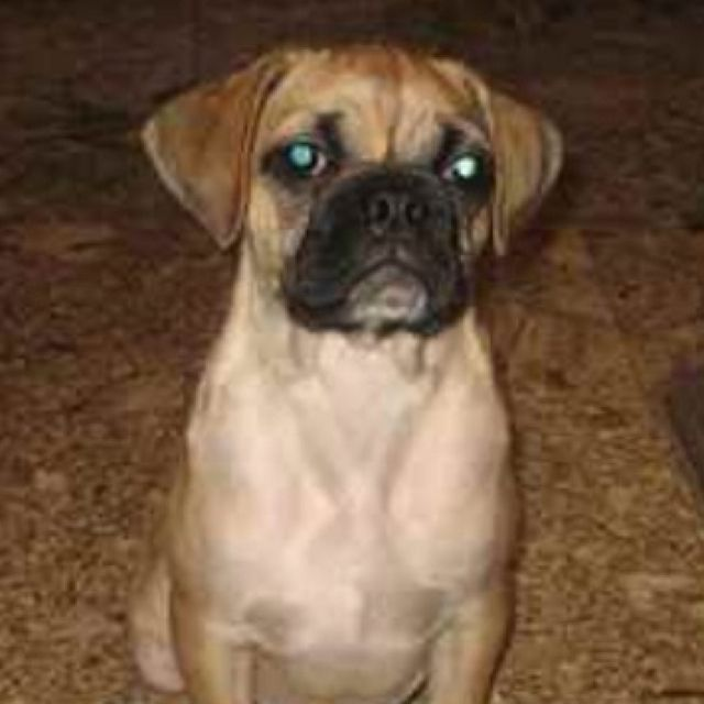 Poxer Pup Boxer Pug Mix I Want One So Bad Pug Mix Toy Pom
