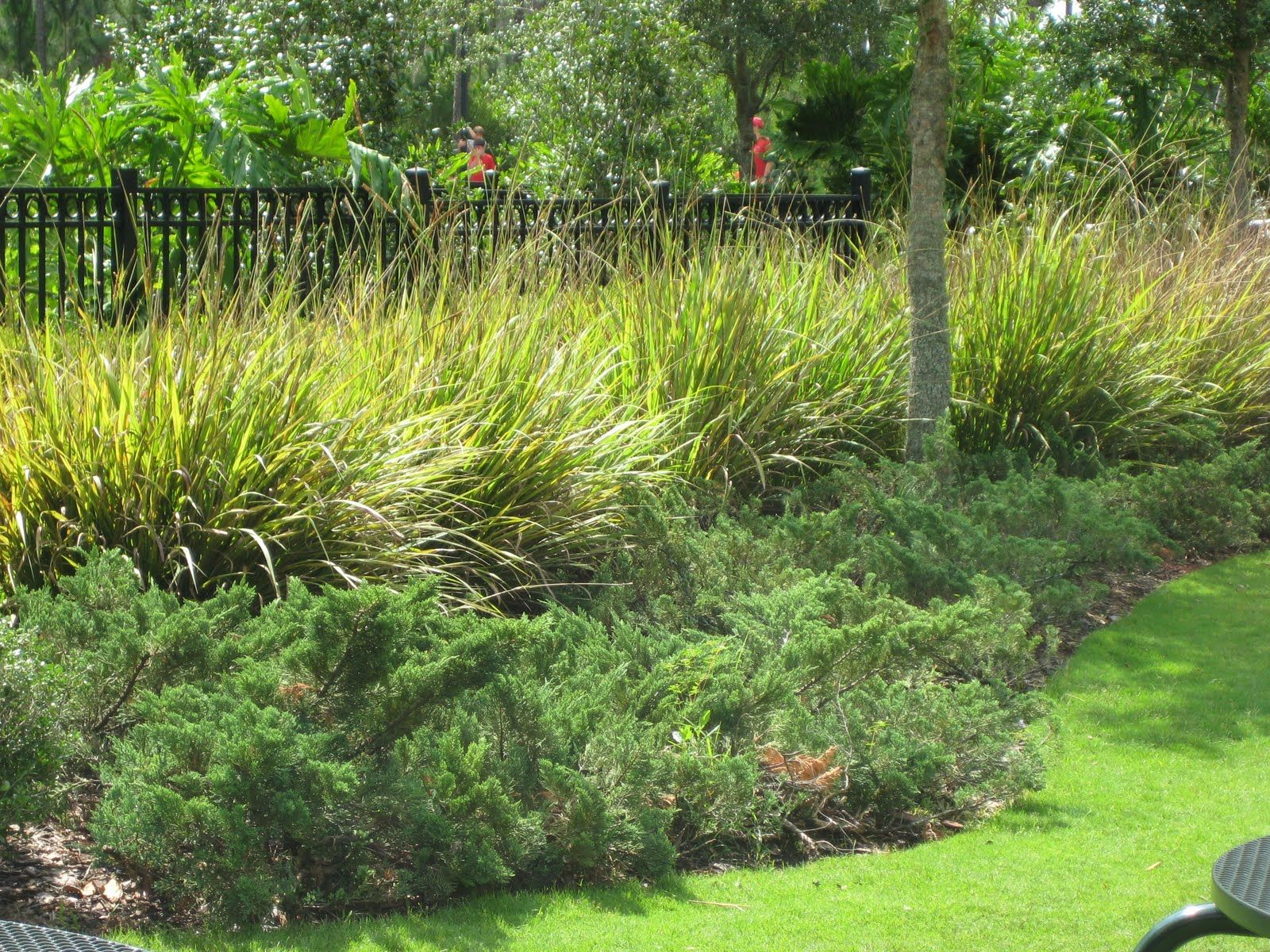 Fakahatchee grass fl native juniper garden for Landscape grasses for sun