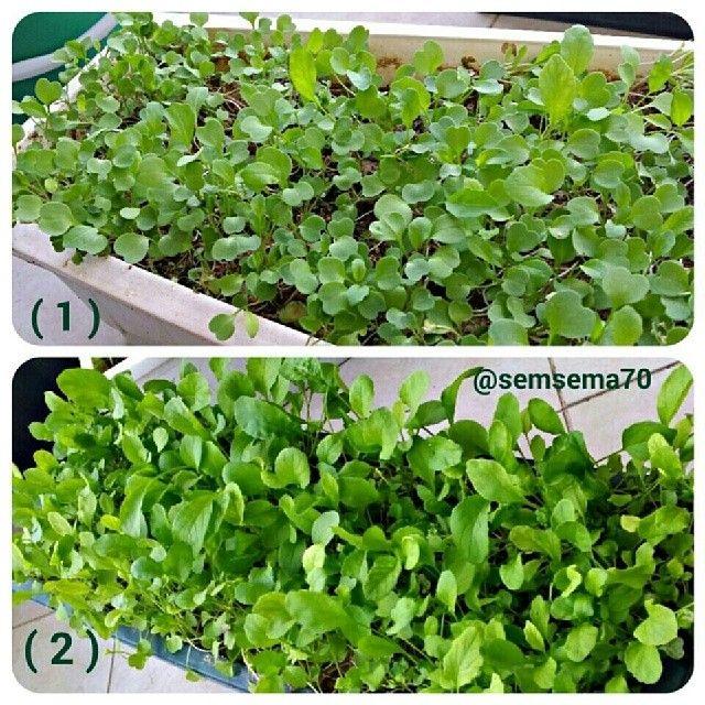 الصورة هذه توضح مراحل نمو الجرجير الصورة رقم 1 زراعة الجرجير من قبل 10 أيام الصورة 2 منظر الجرجير حاليا بعد ما صار جاهز Plants Herbs Vegetables