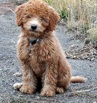 Copper Canyon Doodles Red Mini Labradoodle Labradoodle