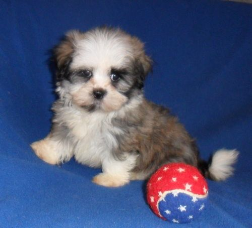 Sherry S Posh Pets Specializing In Breeding Designer Pups And Poodles Hava Tzu Pets Pup Poodle