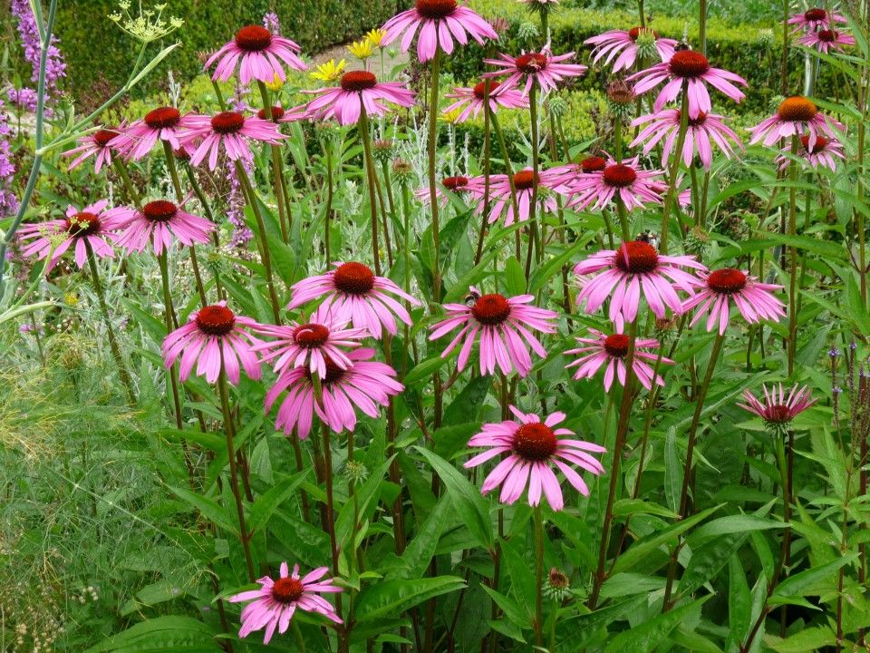 echinacea purpurea rubinstern garten pinterest. Black Bedroom Furniture Sets. Home Design Ideas