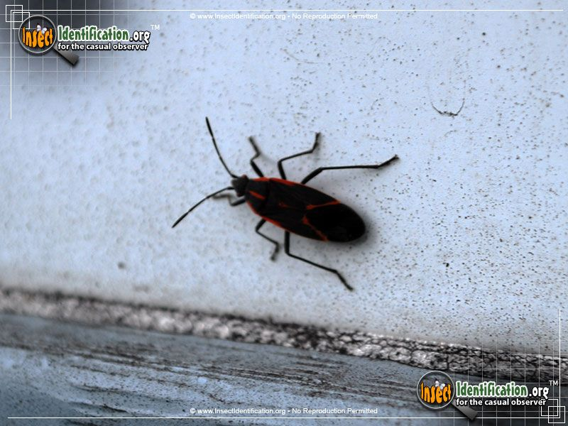 Boxelder Bug Large Clusters Of Boxelder Bugs Can Look Intimidating