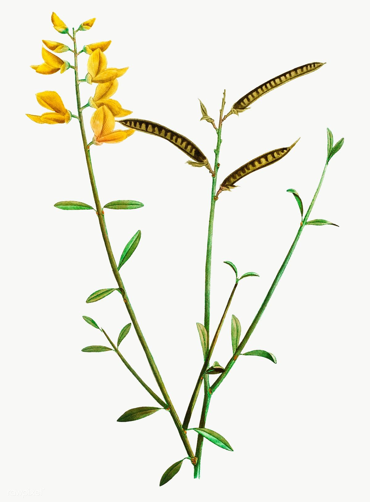 Spanish Broom Flower Transparent Png Free Image By Rawpixel Com Spanish Broom Vintage Illustration Flowers