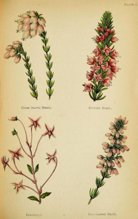 Cross Leaved Heath Cornish Heath Cranberry And Fine Leaved Heath Plate From Wayside Weeds Or B Botanical Illustration Botanical Drawings Botanical Prints