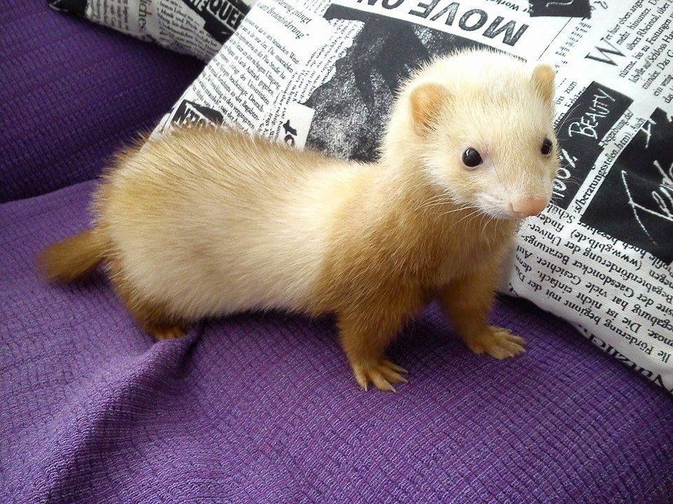 Buenos Dias Ferrets Pinterest Ferret Animal And Adorable - Rescued kitten adopted by ferrets now thinks shes a ferret too