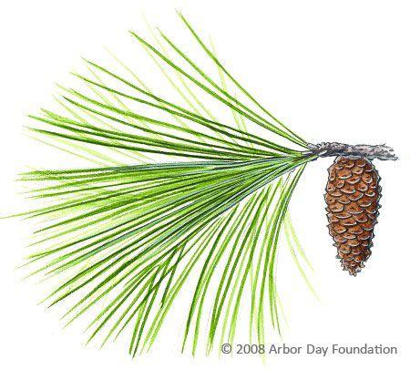 Slash Pine Twig