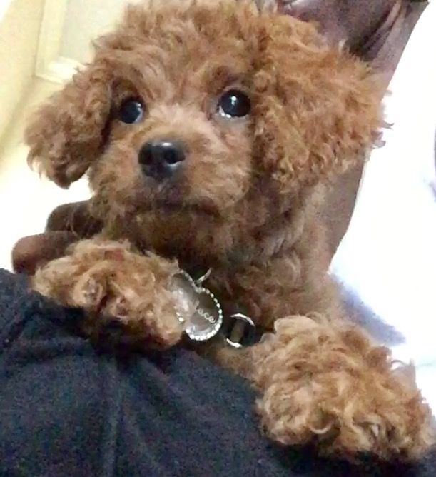 Cavapoo puppy for sale in FAIRFAX, VA  ADN-37394 on