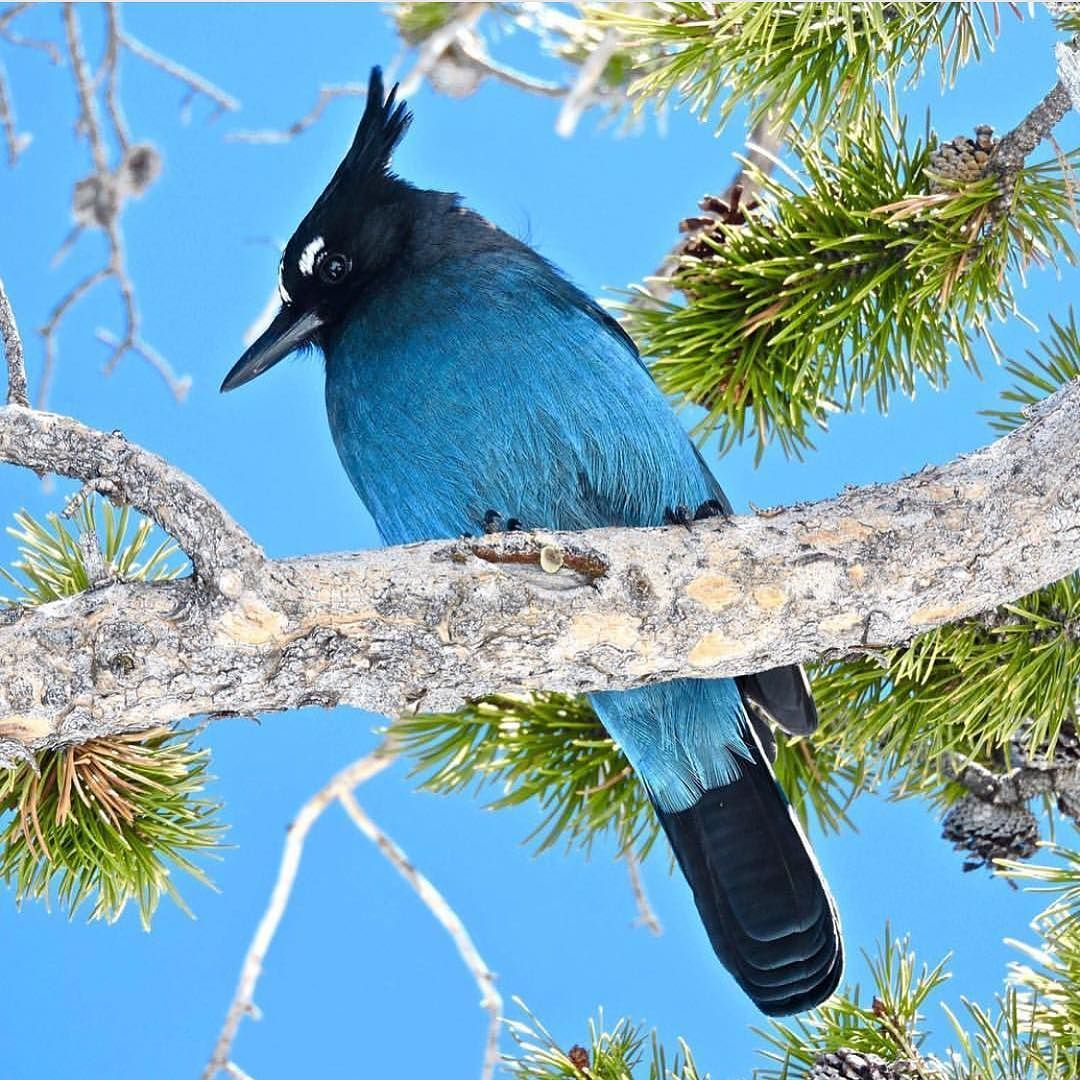 A beautiful day for a steller's jay!!! PC @kelmac28 #estesparkcolorado #rockymountainnationalpark by estesparkcolorado https://www.instagram.com/p/BD-9yB7SRwv/