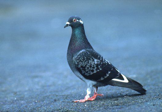 Feral Pigeon or Rock Dove