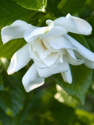 Buy Gardenia Kleims Hardy Plants For Sale Online How To Grow Care For Plants Gardenia Plant Hardy Plants