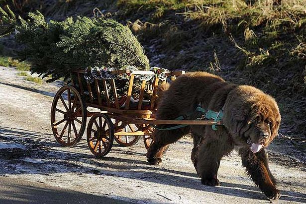 Dylan the Newfoundland rescue dog tows Christmas trees to