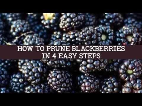 4 Easy Steps To Prune Blackberries Video Reformation Acres Blackberry Bush