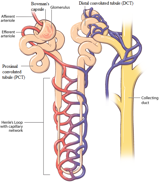 Proximal Tubule Henles Loop Distal Tubule And Collecting Tubule