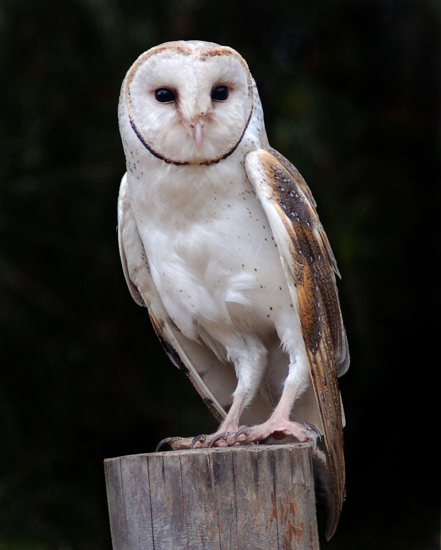 Barn owl New Zealand Birds Online Owl, Big animals