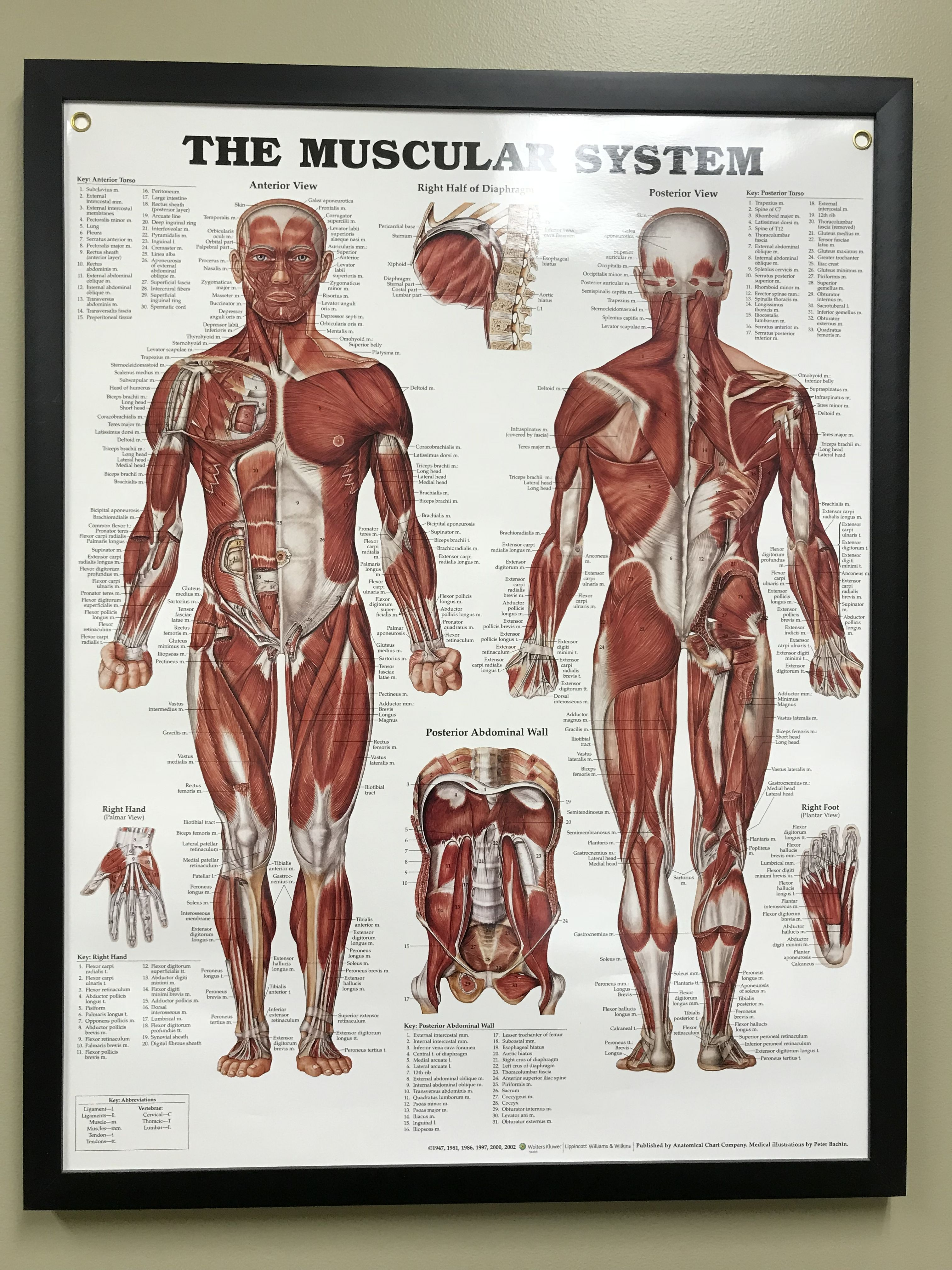 Body Image By A M Muscular System Muscle Anatomy Anatomy