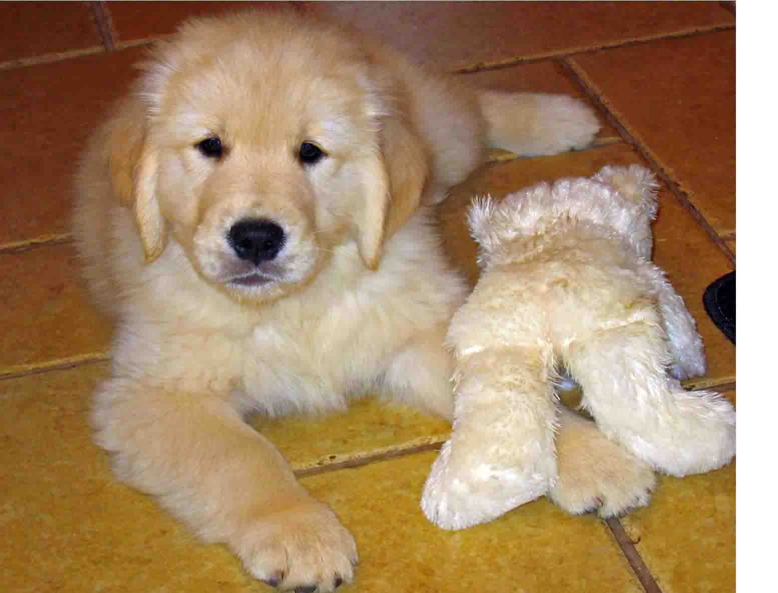 Jack S First Teddy Bear Golden Puppy Puppies Animals