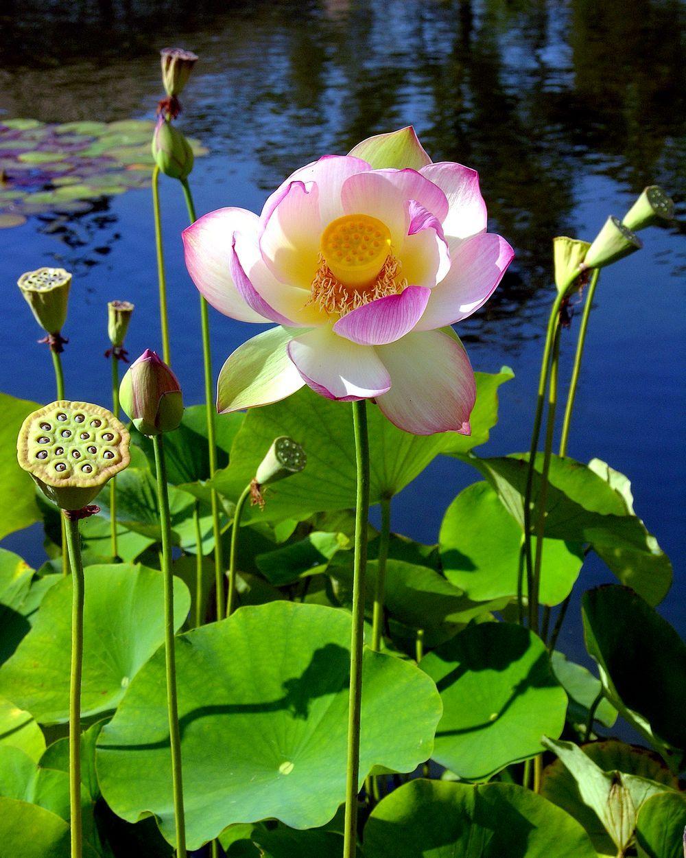 Egyptian Lotus Blossom Balboa Park San Diego California For