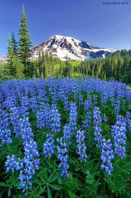 champs de fleurs bleu fleurs paysage pinterest champ de fleurs fleurs bleues et champs. Black Bedroom Furniture Sets. Home Design Ideas